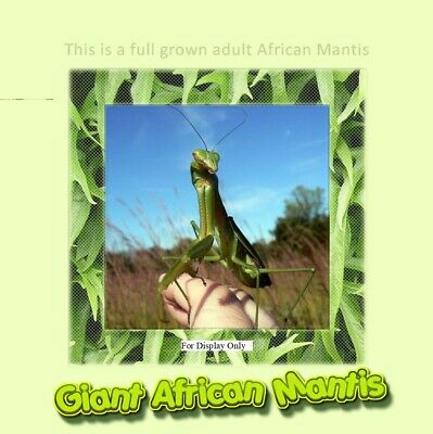 African Praying Mantis L3 stage. Educational and Easy To Care For Pet- Gets Big!