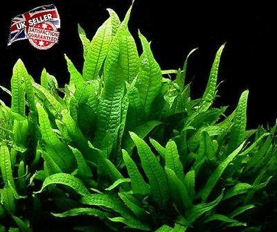 Java Fern Live Aquarium Plants Microsorum Narrow Leaf Guppy Shrimp Very easy UK