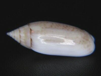Oliva Australis: Currently The Only One On Ebay @ 29.5Mm!