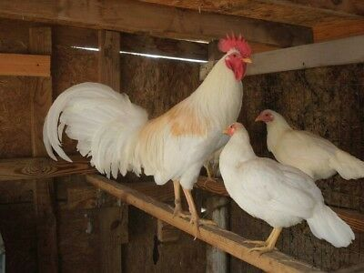 Pure White Hornet 6 Hatching Eggs Chicken Poultry (1/2 Dozen)