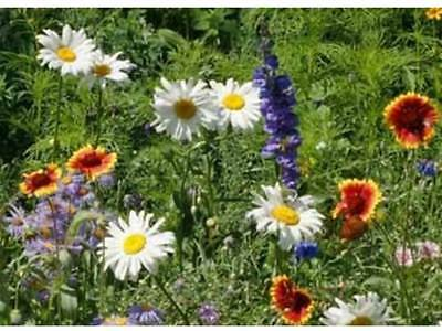 All Perennial Wildflower Mix Seeds by Zellajake Packet to 20LB  Easy Grow ST6