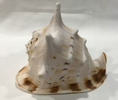 Large horned queen helmet conch shell