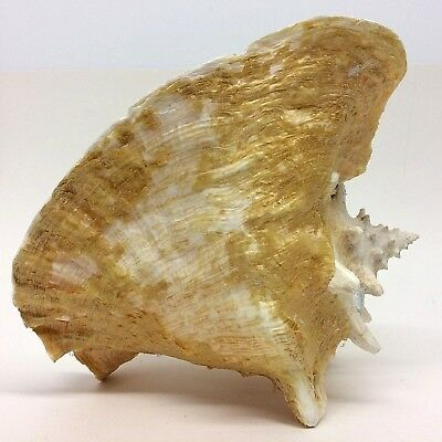 Vintage Queen Conch Tropical Beach Decor Sea Shell Large 11 inches