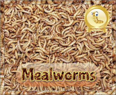 100 Live -- Mealworms  *Organically Raised*