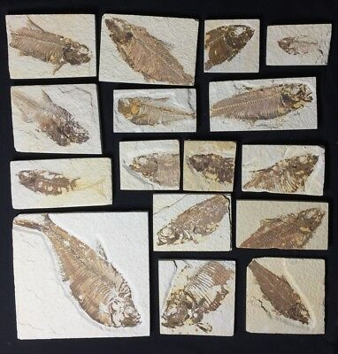 Fossil Fish Heads, most Knightia, Green River, Wyoming, One Selected At Random