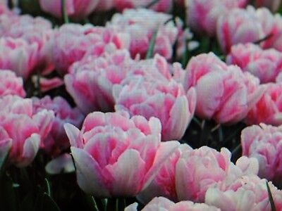 Double* early spring bloom *Foxtrot tulip* pink/white forcing  *5  bulbs* 12 cm