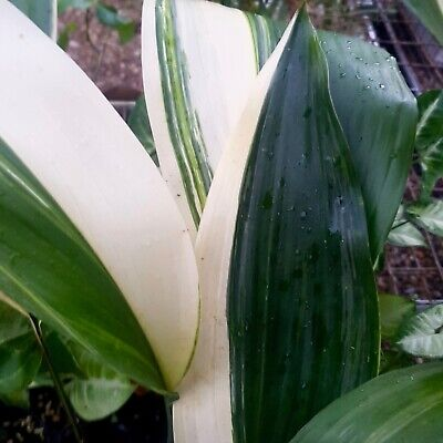 Variegated Aspidistra ** QUALITY STOCK ** Rare indoor foliage plant