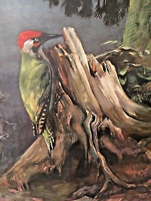 Vintage Pictoral Chart Of Woodpeckers