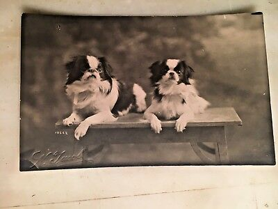 Vintage Real Photo Postcard Of Pair Of Shih Tzu Dogs