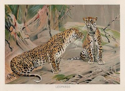 LEOPARDS ~ 1904 Wild Animal Art Print ~ Lydekker's Library Of Natural History