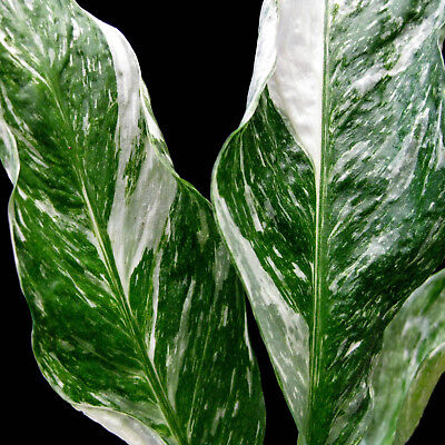 Dwarf Spathiphyllum DOMINO ** Variegated foliage ** Indoor air cleaning plant