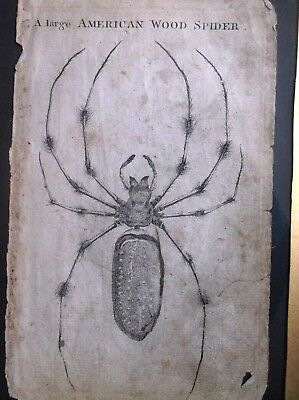 Very Rare Antique 18Th Century Framed Engraving Of A Large American Wood Spider