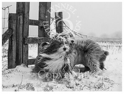 BEARDED COLLIE Beardie Photo art print 'Windswept' by Lynn Paterson