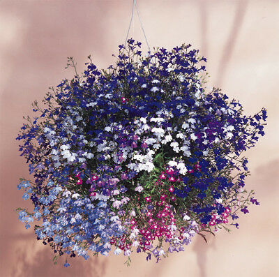 BALCONY FLOWER - TRAILING LOBELIA CASCADE MIX - 7000 seeds #1406