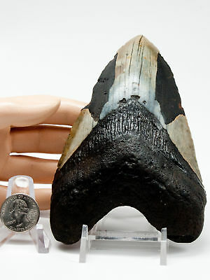 Megalodon Fossil Shark Tooth 5.789 Jet Black Dagger Lower Anterior Meg Teeth