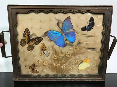 Vtg Real Butterfly Taxidermy Morpho Moth Glass Wall Hanging Art Tray