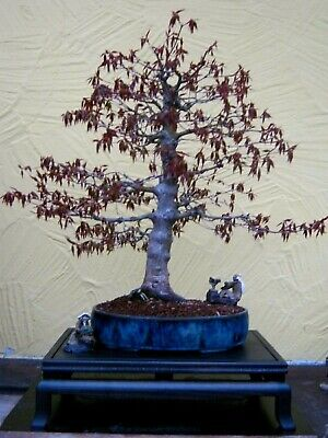 Bonsai Acer palmatum Jap. Fächerahorn Ahorn in Antiker China Schale mit Bio Gold