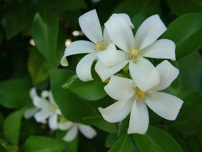 20 seed Murraya Paniculata Local Farmer Orange Jasmine Fragrant White Flower