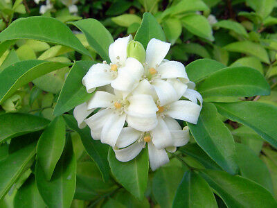 Orange Jessamine 20 Seeds, Orange jasmine, Murraya paniculata, Fragrant Flower