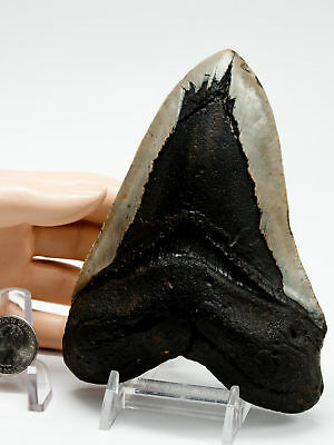 "Megalodon Fossil Shark Tooth 5.536"" Beast of a Black Mamba Monster Meg Teeth"