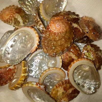 10 x Abalone sea shells. Art craft beach home decor 1-2.5""
