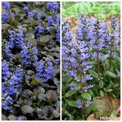 15 Pc LIVE Lot Of Bugleweed Mix Ground Cover HARDY FLOWER +3 FREE SAMPLE PLANT