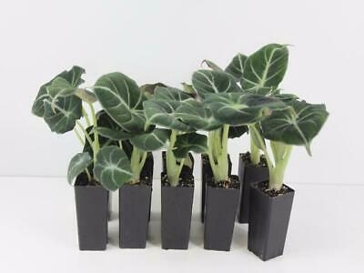 1-32 Plants-Alocasia Black Velvet-Indoor Houseplants Rare Tropical Plant