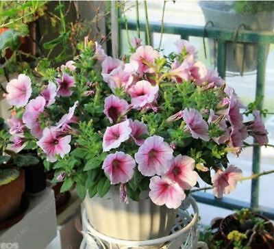 100PCS mixed color petunia seed ornamental flower bonsai pink & black rare flowe
