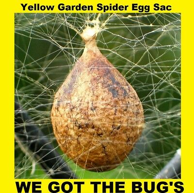 Real Black and Yellow Garden Spider ( DRY Specimen  Egg Sac ) Egg Sac Only
