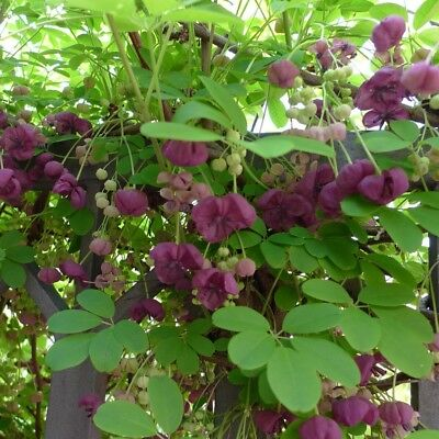 Akebia quinata - Potted Climber Plant in 9cm Pot