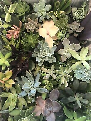 Succulent Cuttings  30 Mixed For 40$ All FroM Different Plants FREE Express POST