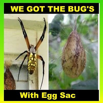 1 Real Black and Yellow Garden Spider (WET Specimen With Egg Sac )