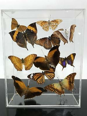 RARE Signed Real Morpho Butterfly Taxidermy Lucite Cased Box Art