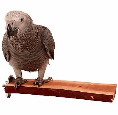 Manzanita Wood Flat Parrot Bird Perch - Large - Strong Tropical Hardwood - NTO
