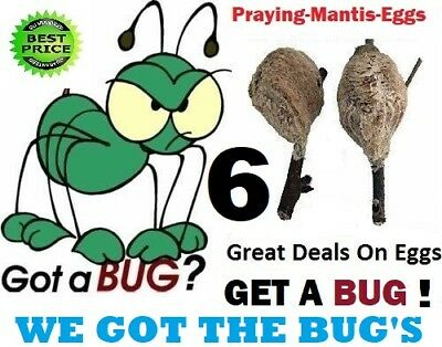 ⭐️⭐️⭐️⭐️⭐️6 Fresh LIVE PRAYING MANTIS CHINESE  EGG CASES OOTHECA PEST CONTROL