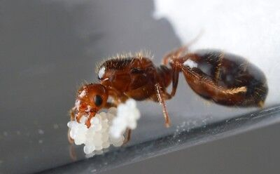 Live Fire Ants Solenopsis Invicta - Queen Ant 10-15 Workers with Brood