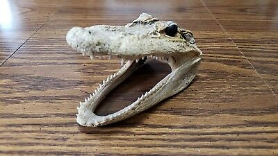Genuine Alligator Head Skull Jaws Real Reptile Taxidery Gator Louisiana Teeth