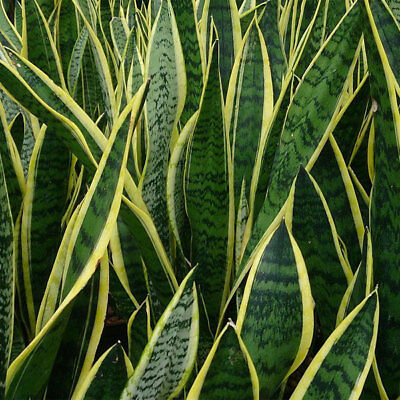 BIG SALE !!Snake plant. Sansevieria trifasciata. mother-in-law's tongue.100SEED.