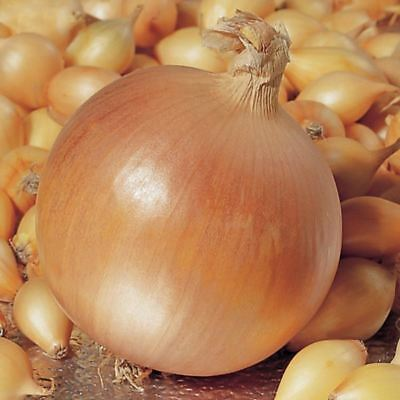 'Hercules' Onion Sets x 50.  Grow your own