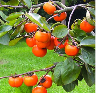 Rare Persimmon Seed Organic Non-GMO Juicy Succulent fruit trees 20 pcs/bag