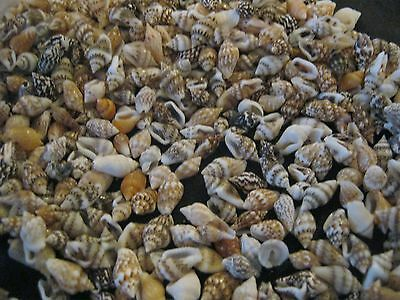 BULK 100 Mix Colour VERY TINY Sea Shells for Crafts approx 5mm Long 1/2 CM