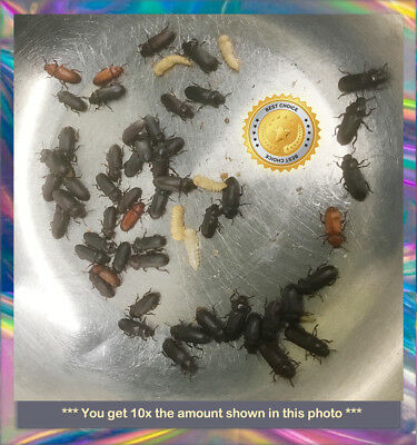 550 Young Darkling (mealworm) Beetles-New Colony Starters - Fun and Educational