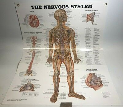 The Nervous System Anatomical Chart Poster Laminated