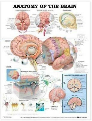 Anatomy of the Brain by Anatomical Chart Company Staff Laminated
