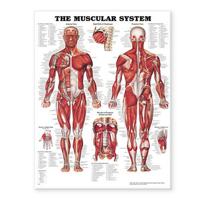 The Muscular System Anatomical Paper Chart Poster