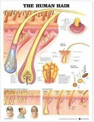 The Human Hair Laminated Chart by Anatomical Chart Company