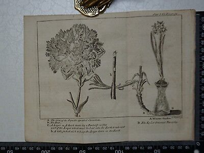 1776 - Carnation & Oriental Narcissus engraving, Pluche, Spectacle of Nature
