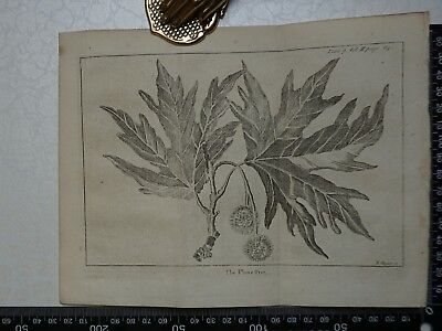 1776 - The Plane Tree Engraving, Pluche, Spectacle of Nature