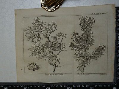 1776 - Cypress & its Fruit,  Cedar Tree Engraving, Pluche, Spectacle of Nature
