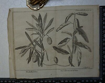 1776 - Grafted Olive/Wild Olive & Fruit Engraving, Pluche, Spectacle of Nature